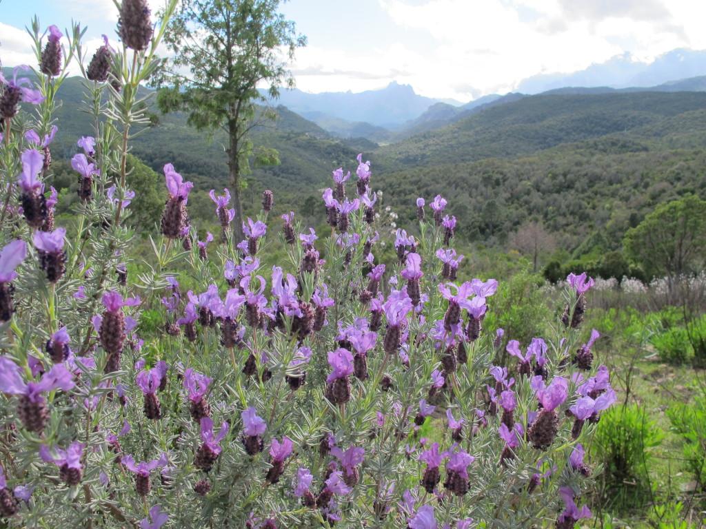 Baglandet på Korsika i Maj er grønt og der er stadig sne på bjergtoppene